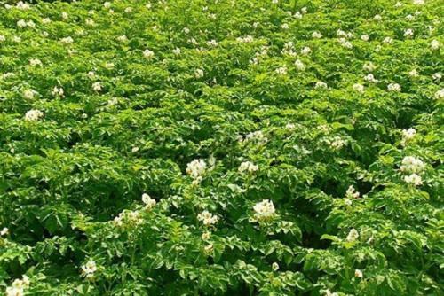 Картошка невская описание сорта. Сорт картофеля Невский: описание сорта, полезные свойства, отзывы