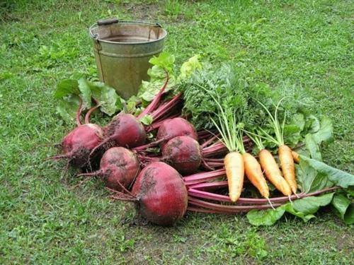 Как хранить морковь и свеклу в квартире. Как сохранить морковку и свеклу в квартире (без песка и других премудростей)