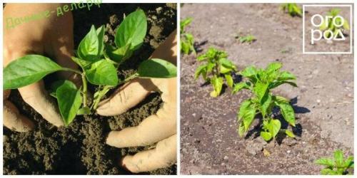 Секреты выращивания перца. Технология выращивания перца в открытом грунте