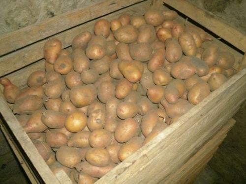 Можно ли хранить картошку в картонной коробке. Мой секрет хранения свежей картошки всю зиму