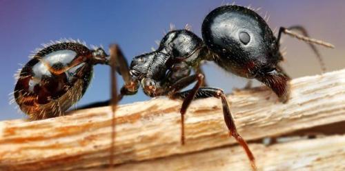 Могут ли домашние муравьи жить без матки. Как долго живут муравьи