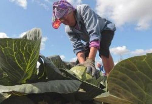 Какие заморозки выдерживает капуста осенью. Боится ли овощ заморозков?