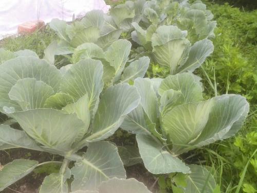 Когда убирать осенью капусту. Когда убирать капусту с огорода