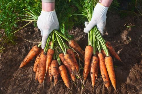 Как выбрать морковь на зиму. Общая характеристика зимних видов
