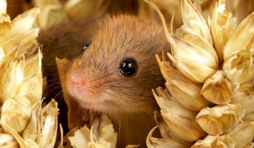 Что ест полевка. Чем питается мышь полевка?