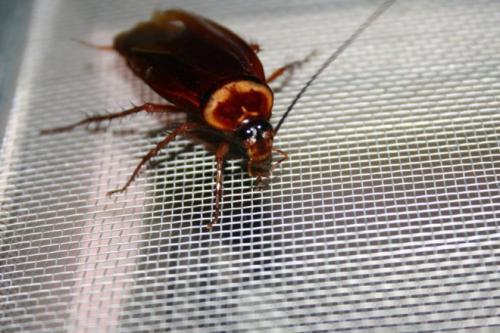 Откуда появляются тараканы в квартире. Поставщики тараканов
