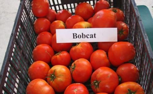 Пасынкование помидоров бобкат. Характеристика сорта томата Бобкат, его описание и особенности выращивания