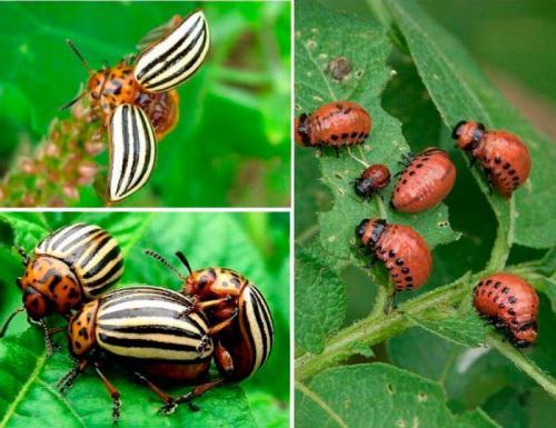 Как бороться с колорадским жуком. Особенности колорадского жука