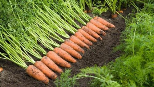 Как сохранить морковь до весны. Лучшие способы, как хранить морковь после сбора урожая до весны