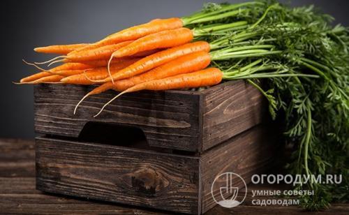 Как хранить морковь в глине. Подвал и погреб