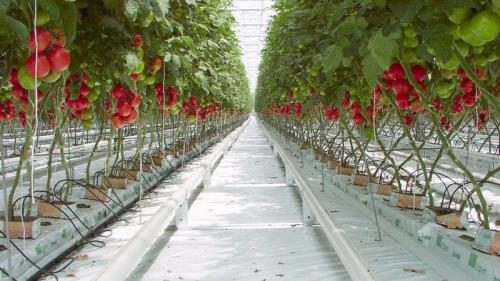 Помидоры в теплице зимой. Выращивание помидоров в теплице