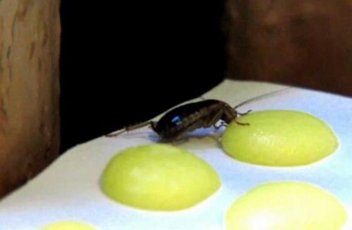 Борная кислота от тараканов с картошкой. Борная кислота от тараканов – принцип действия и популярные рецепты