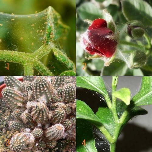 Биопрепараты от паутинного клеща. Паутинный клещ на комнатных растениях —, как бороться