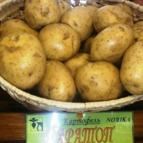 Картофель Каратоп форум. Сорт картофеля сверхраннего созревания «Каратоп»