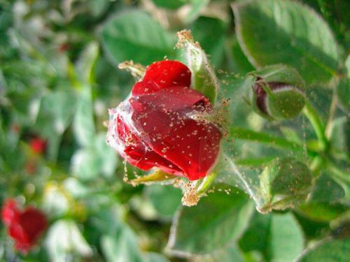 Паутинный клещ на розах. Методы борьбы с паутинным клещом на розе: химические и народные средства